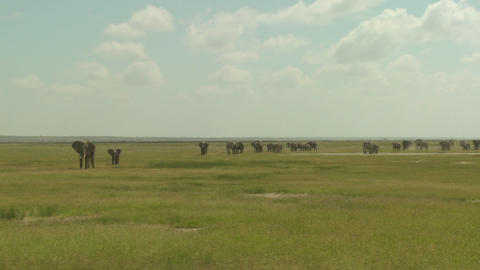 A large herd of African elephants migrate across Amboceli... Stock Video Footage