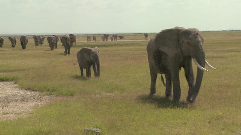 A large herd of African elephants migrate across Amboceli National Park in Tanzania Footage