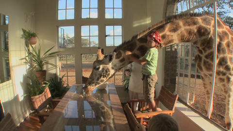 A giraffe sticks its head through the window of a mansion... Stock Video Footage