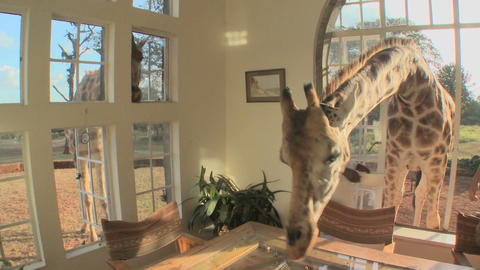 Giraffes stick their heads into the windows of an old... Stock Video Footage