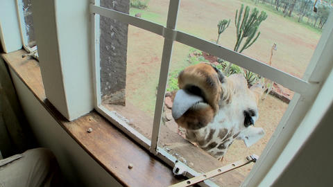 A giraffe outside a second story window in Africa getting food with his tongue Footage