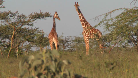Two giraffes graze on the African plains Footage