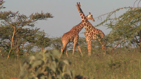 Two giraffes graze on the African plains Stock Video Footage