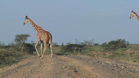 Two African giraffes cross the road Footage