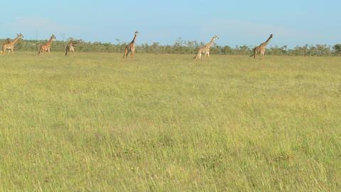 Giraffes cross a golden savannah of grass in Africa Stock Video Footage