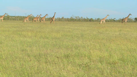 Giraffes cross a golden savannah of grass in Africa Footage