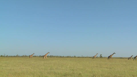 Giraffes walk in the distance across the African savannah Stock Video Footage