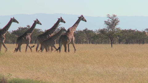 Giraffes walk across the plains of Africa Stock Video Footage