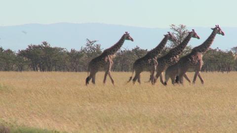 Giraffes walk across the plains of Africa Stock Video Footage