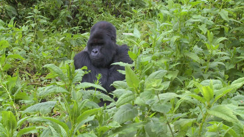 A mountain gorilla sits in greenery on the slopes of a volcano in Rwanda Footage