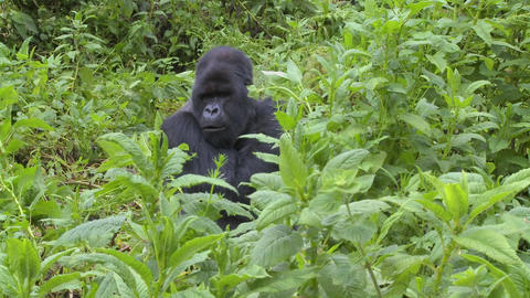 A mountain gorilla sits in greenery on the slopes of a... Stock Video Footage