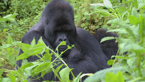 A slow zoom into a mountain gorilla in the greenery of the Rwandan rainforest Footage