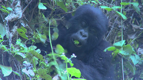 A gorilla youngster sits in the mist eating vegetation on... Stock Video Footage