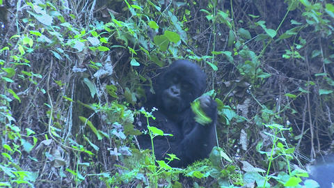 A gorilla youngster sits in the mist eating vegetation on the slopes of a Rwandan volcano Footage
