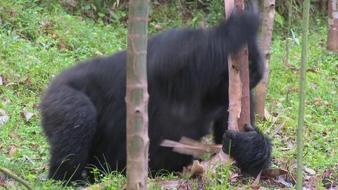 Mountain gorillas feed in a eucalyptus grove in Rwanda Stock Video Footage