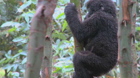 A baby mountain gorilla climbs in a tree in Rwanda Footage