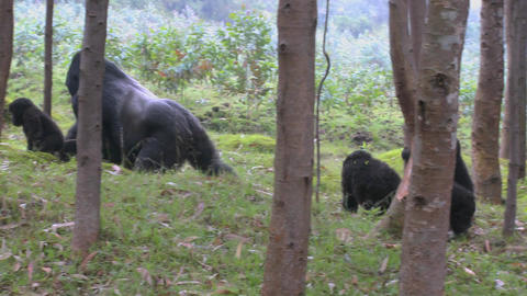 A male silverback gorilla walks with babies through the jungles of Rwanda Footage