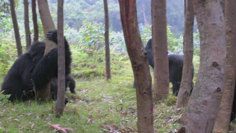 A male silverback gorilla walks with babies through the... Stock Video Footage