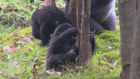 A baby gorilla plays on the ground in Rwanda Stock Video Footage