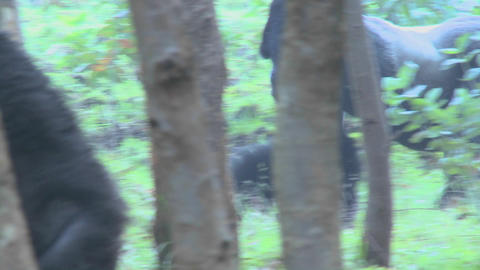 A male silverback gorilla walks through the jungle in Rwanda Footage