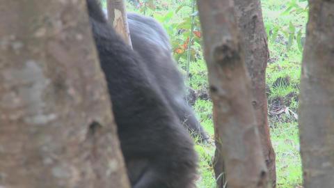 A male silverback gorilla walks through the jungle in Rwanda Stock Video Footage