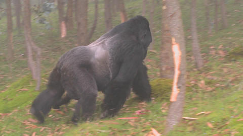 A male silverback gorilla walks with baby through the mist Footage
