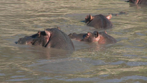 Hippos play in the water in an African river Stock Video Footage