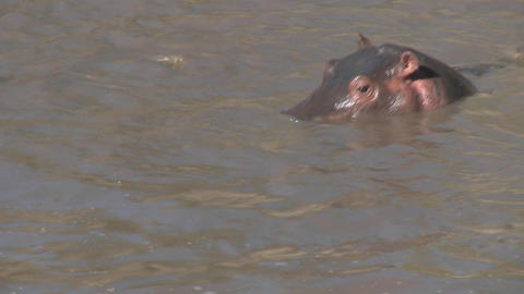 Several hippos peer out of the muddy water of a river in... Stock Video Footage