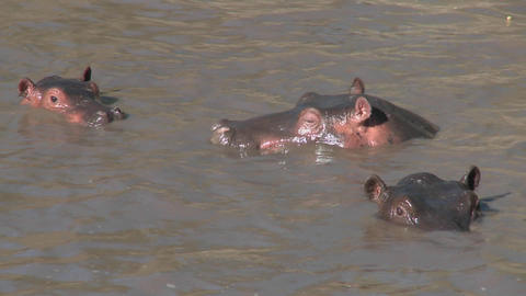 Several hippos peer out of the muddy water of a river in Africa Footage