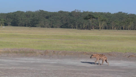 A hyena walks along a road in the savannah of Africa in this traveling shot Footage