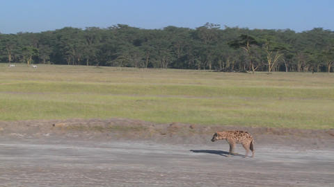 A hyena walks along a road in the savannah of Africa in... Stock Video Footage