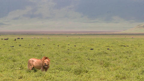 A proud male lion stands on the plains of Africa Footage