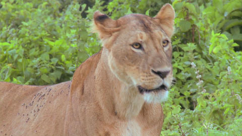 A female lion poses proudly Stock Video Footage