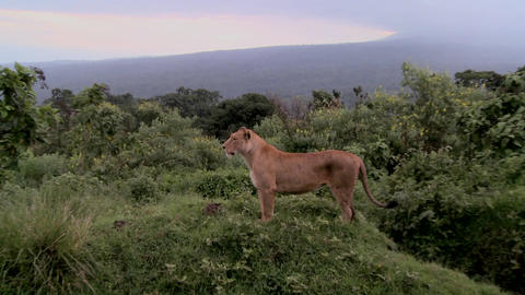 A female lion poses proudly against mountains in Africa Stock Video Footage