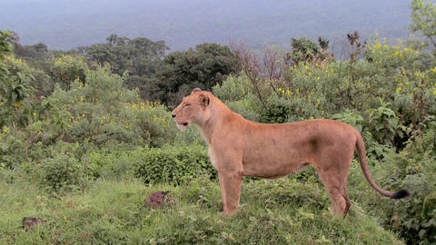 A female lion poses proudly against mountains in Africa Footage
