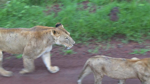 A female lion walks with babies along a road in Africa Stock Video Footage