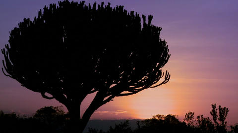 A gorgeous sunset behind a cactus tree on the savannah of East Africa Footage