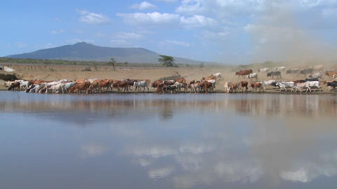 Cattle move around a watering hole in Africa Footage