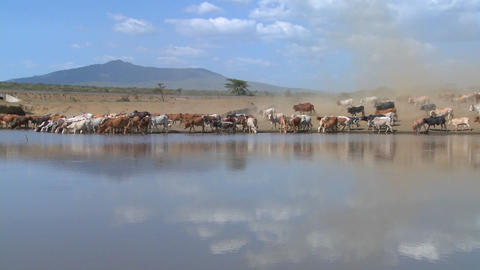 Cattle move around a watering hole in Africa Stock Video Footage