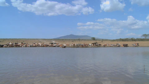 A wide shot of a watering hole in Africa with cattle in distance Footage