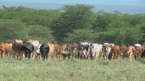 Masai tribesman herd their cattle in kenya Stock Video Footage