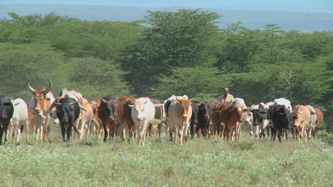 Masai tribesman herd their cattle in kenya Footage