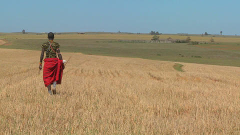 A Masai warrior walks through wheat fields in northern Kenya Stock Video Footage