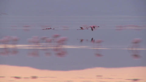 Flamingos flying over Lake Nakuru, Kenya Footage