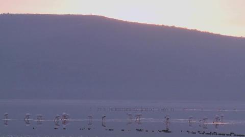 Flamingos walk on Lake Nakuru, Kenya Stock Video Footage