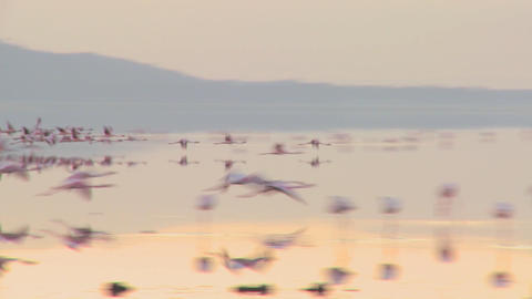 Pink flamingos fly across Lake Nakuru, Kenya Stock Video Footage