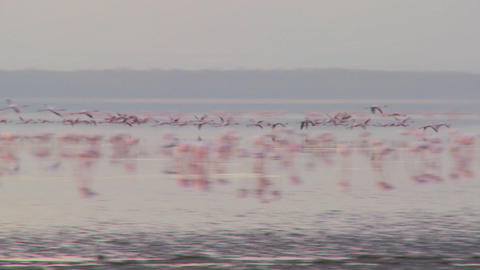 Pink flamingos fly across Lake Nakuru, Kenya Footage