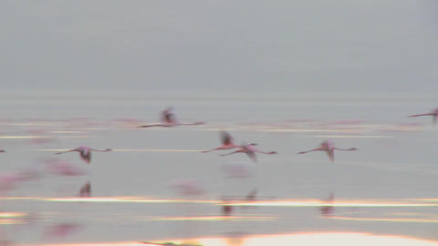Flamingos flying across Lake Nakuru, Kenya Footage