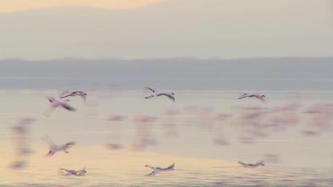 Flamingos flying across Lake Nakuru, Kenya Stock Video Footage