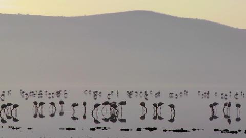 Silhouettes of flamingos on Lake Nakuru, Kenya at sunrise Stock Video Footage